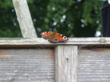 Peacock Butterfly on Top of Fence 3 by Captain-Art-hero