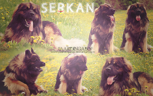 Blend Leonberger || One of my best by PaardinGalop