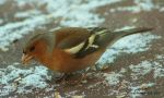 Chaffinch 7 by bluesgrass