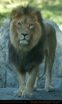 Lion 2 by SalsolaStock