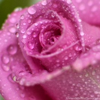 Pink rose and drops 3 by FrancescaDelfino