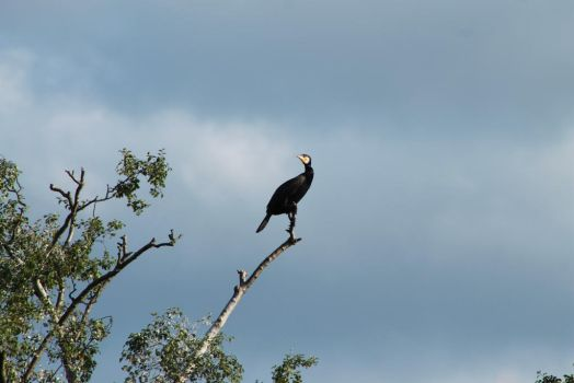 Cormorant on a Branch by johnyquest31