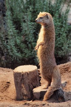 Yellow Mongoose by psychostange