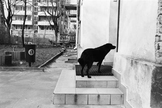 Waiting dog 11 by neck-line