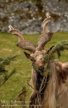 Markhor by Shadow-and-Flame-86
