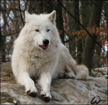 Arctic wolf: tongue shot by woxys