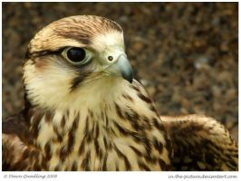 Falconers Delight by In-the-picture