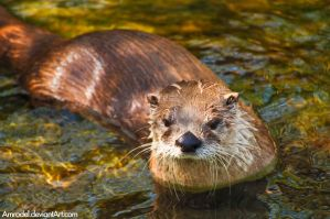 Otter in the Water by amrodel