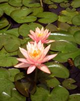 Lotus by priitiiz-click