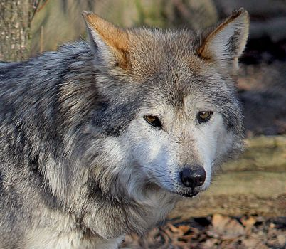 Mexican Wolf Stock 15 by HOTNStock