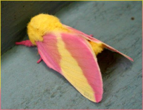 THE coolest moth ive ever seen by adastra