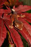 Autumn crested gecko 1 by AngiWallace