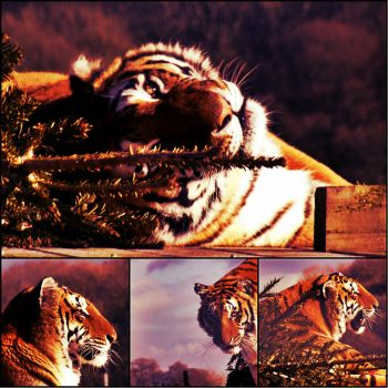Tigercollage2 by LadyCobraBones