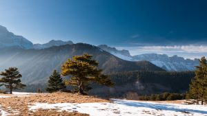 A pine in the light II by rdalpes