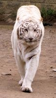 White Tiger Stock 1 by HOTNStock