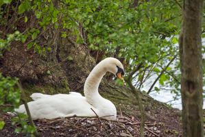 Nesting Swan by Sycamorewest