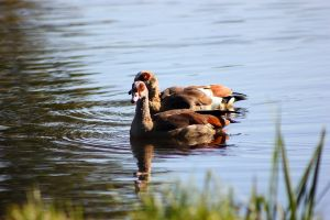 Geese by JetteReitsma
