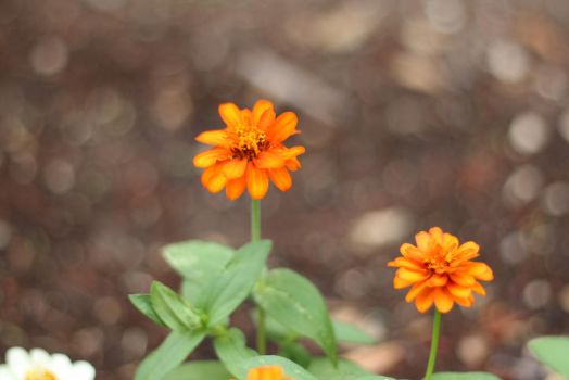 Zinnias by MoozieBerry