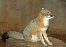 Swift Fox Content by Jack-13