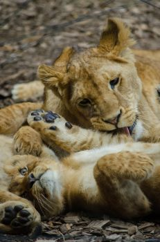 Cute lions by Electrokopf
