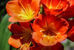 Clivia by Kitteh-Pawz